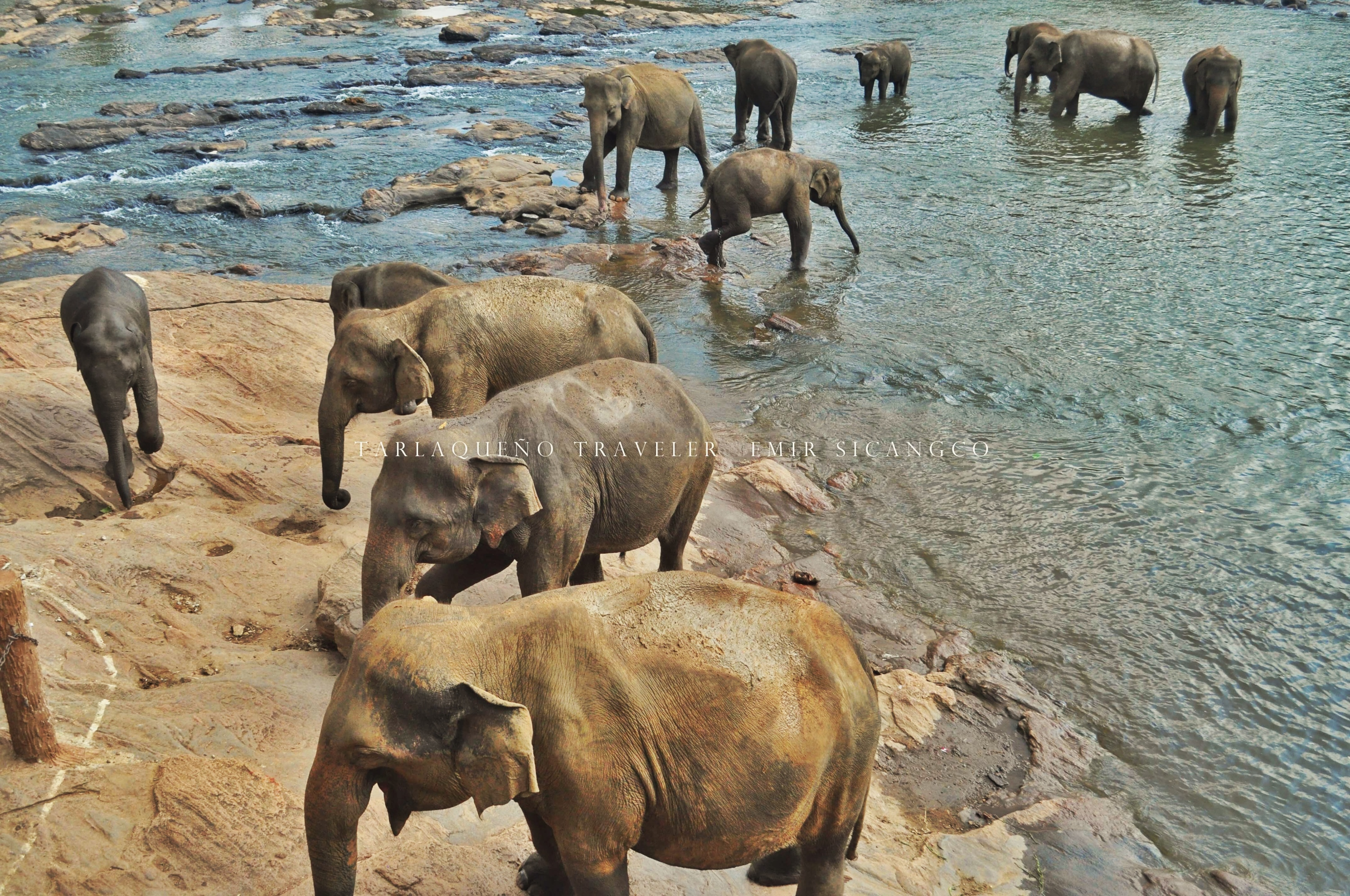 It's bathing time for the elephants at Pinnawala Elephant Orphanage